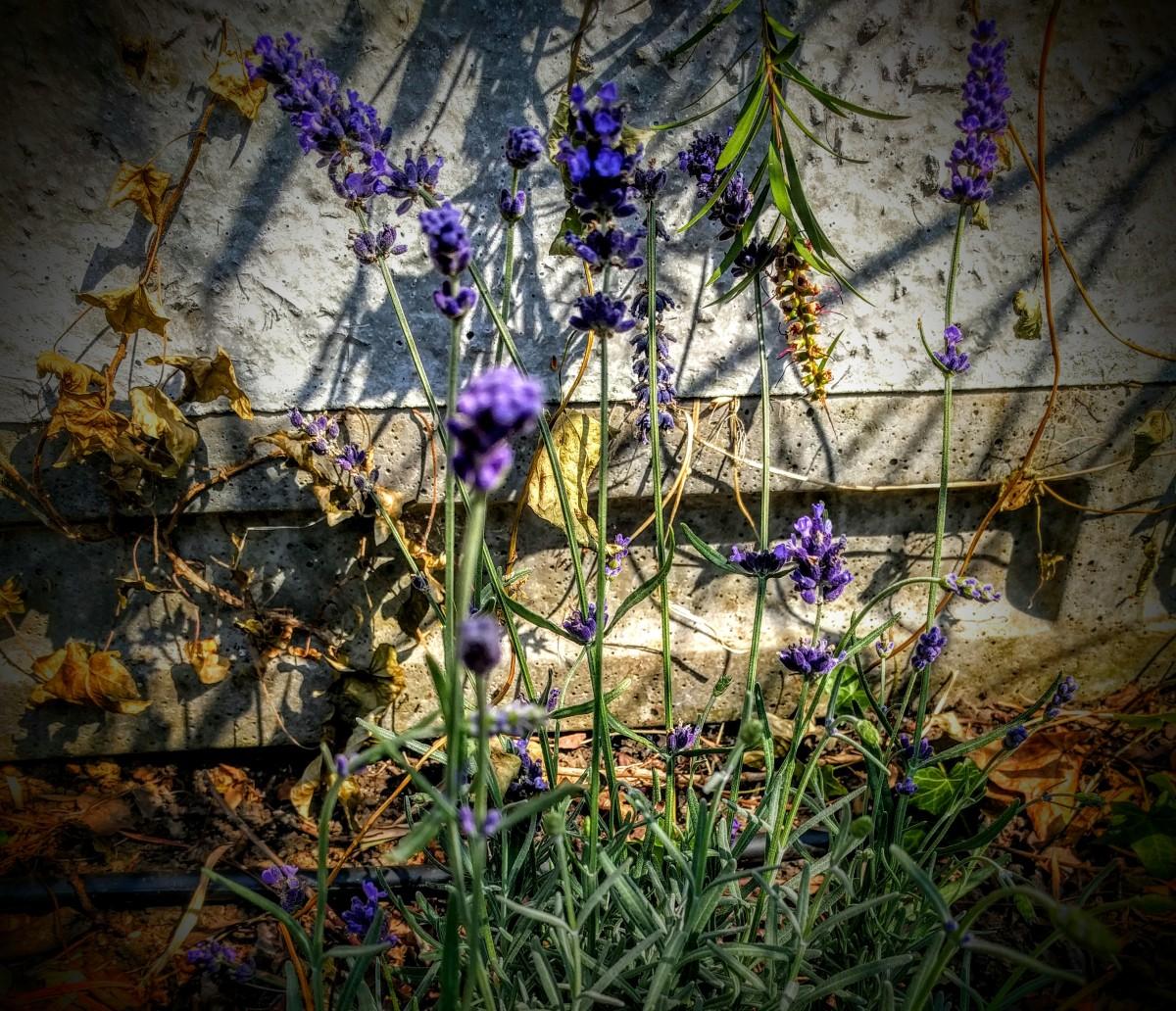 Lavender Limeade 2